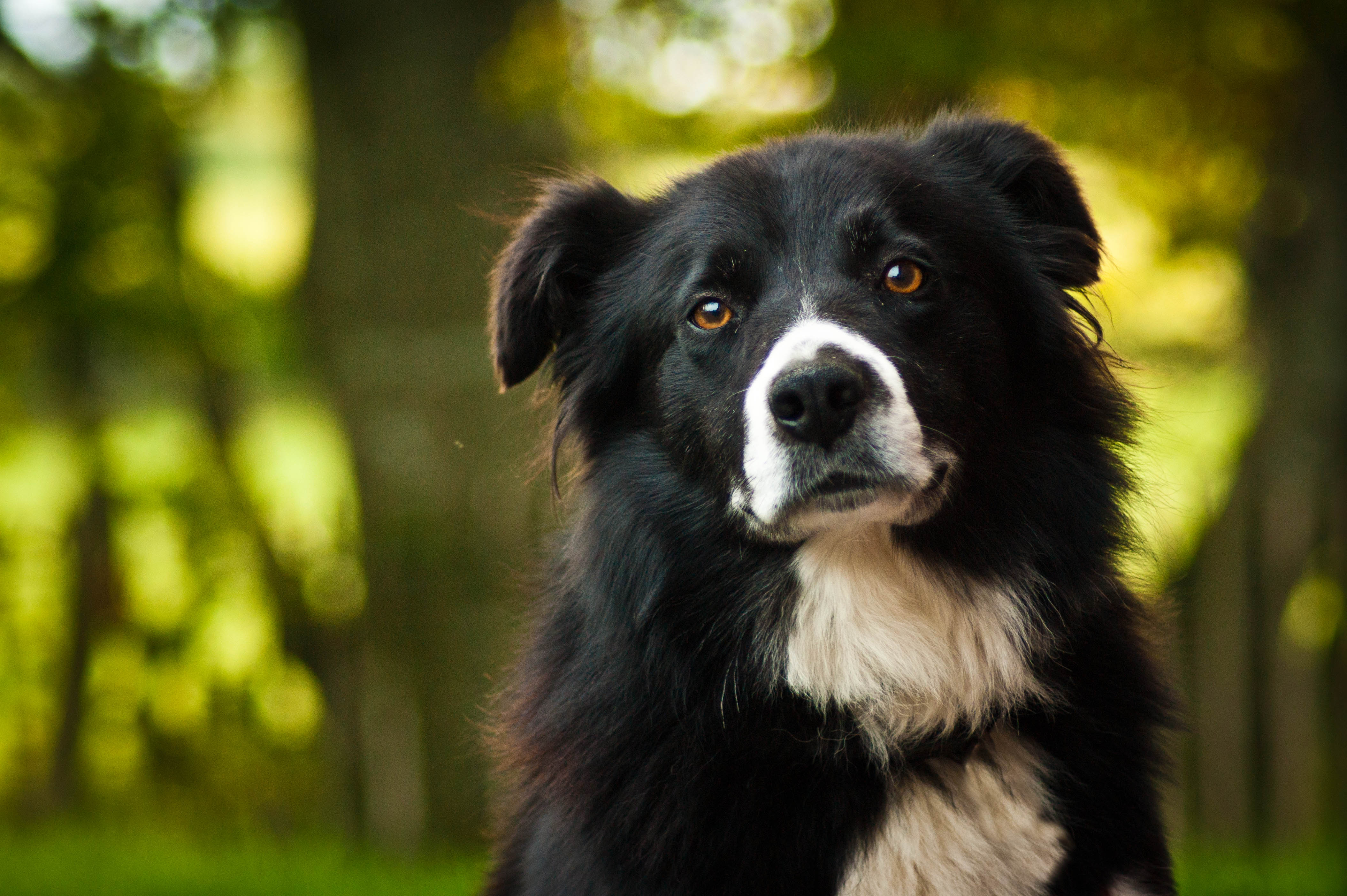 A collie with a quizzical look