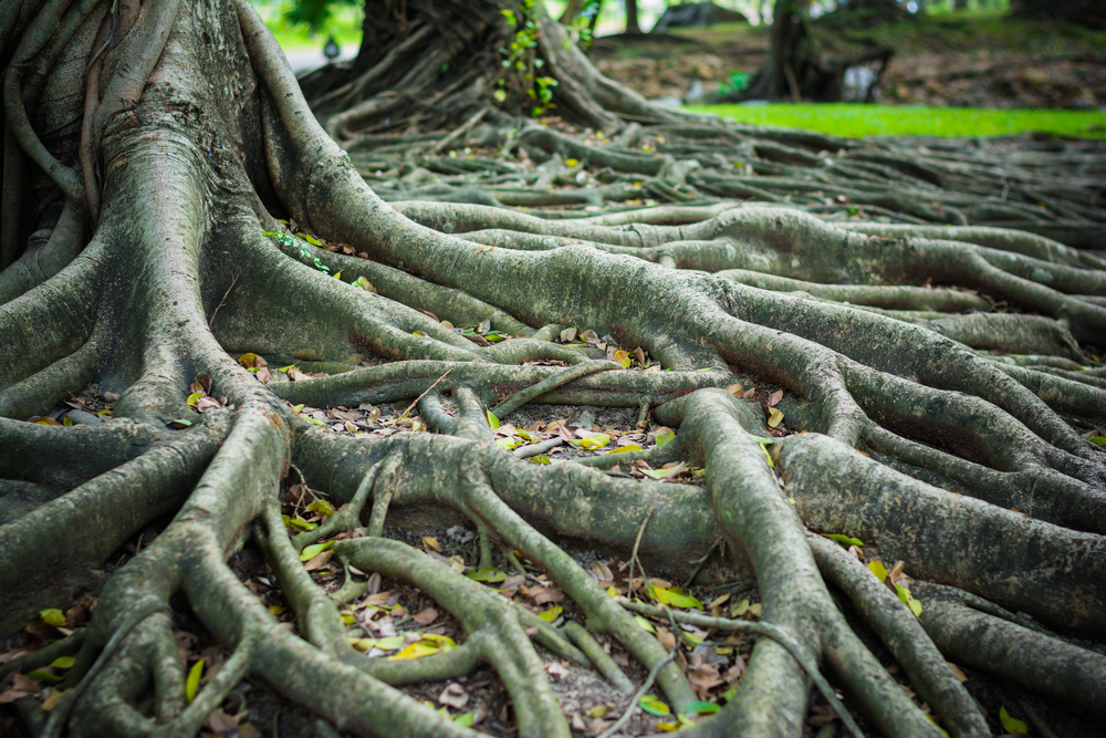 The roots of the Banyan Forest